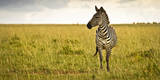 Lonely Zebra Standing in the Veldt of the Maasai Mara, Kenya Photographic Print by Axel Brunst