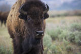 A Bison on the Antelope Flats of Grand Teton National Park, Wyoming Photographic Print by Jason J. Hatfield