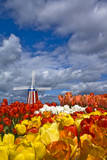 Windmill Among Colorful Tulips During the Tulip Festival in Woodburn, Oregon Photographic Print by Patricia Davidson