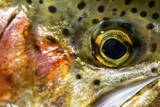 Macro Shot of a Rainbow Trout Cheek and Eye Photographic Print by Matt Jones