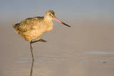 A Marbled Godwit in a California Coastal Wetland Photographic Print by Neil Losin