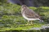 A Surfbird (Aphriza Virgata) on the Southern California Coast Photographic Print by Neil Losin