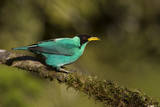A Male Green Honeycreeper at Las Cruces Biological Station, Costa Rica Photographic Print by Neil Losin
