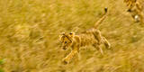 Two Lion Cubs Playing in the Veldt of the Maasai Mara, Kenya Photographic Print by Axel Brunst