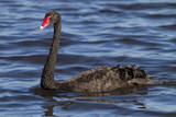 A Pair of Black Swans Swims in a Lake in Western Australia Photographic Print by Neil Losin