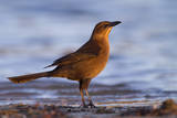 A Female Great-Tailed Grackle on a Southern California Beach Photographic Print by Neil Losin
