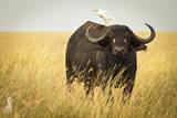 Water Buffalo with Bird in the Veldt of the Maasai Mara, Kenya Photographic Print by Axel Brunst
