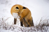 A Red Fox Stares at Snow as it Listens for a Potential Meal in Churchill, Manitoba, Canada Photographic Print by Mike Cavaroc