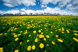 Grand Tetons, Wyoming: a Field of Dandelions Bloom Outside or Mormon Row Photographic Print by Brad Beck