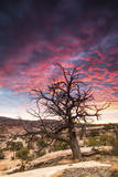Dead Tree at Sunset, Near Moab, Utah Photographic Print by Matt Jones