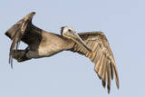 A Brown Pelican in a Southern California Coastal Wetland Photographic Print by Neil Losin
