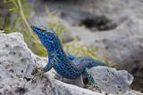 An Unusually Blue Male Ibiza Wall Lizard from the Island of Espartar Photographic Print by Day's Edge Productions