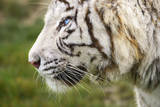 Close Up of a White Tiger with Blue Eyes Photographic Print by Francesco Carovillano