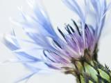 Blue Centaurea Photographic Print by Frances Gallogly