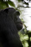 A Male Chimpanzee (Pan Troglodytes) in Kibale National Park, Uganda Photographic Print by Neil Losin