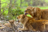 Lionesses and Baby Lion Photographic Print by Francesco Carovillano