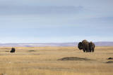 A Pair of Bison Stand in a Prairie Dog Town in Grasslands National Park, Saskatchewan, Canada Photographic Print by Mike Cavaroc