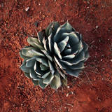 Succulent Photographic Print by Lindsay Daniels