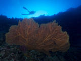 Giant Sea Fan and Diver in Palau Photographic Print by Eric Peter Black