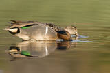 A Male and Female Green-Winged Teal Feed in a Southern California Wetland Photographic Print by Neil Losin