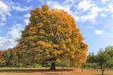 Fiery Autumn Color Display on a Maple in a New England Park Photographic Print by Frances Gallogly