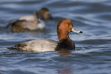 A Male Redhead on the Chesapeake Bay in Maryland, with a Male Canvasback in the Background Photographic Print by Neil Losin