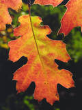 USA, California, an Oak Leaf in Six Rivers National Forrest Photographic Print by  Jaynes Gallery