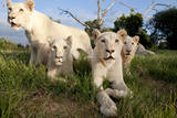 A Pride of Five Sub Adult White Lions Sit Int the Grass Against a Blue Sky in South Africa Photographic Print by Karine Aigner