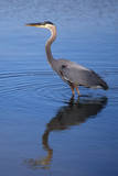 USA, California, San Diego, Lakeside. Great Blue Heron Photographic Print by  Jaynes Gallery