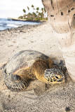 Hawaiian Sea Turtle Sun Drying under a Tree at the Beach at Mauna Lani Resort Near Kona Hawaii Photographic Print by Carlo Acenas