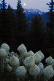 Beargrass under a Full Moon. Swan Range, Montana Photographic Print by Steven Gnam