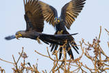 A Pair of Hyacinth Macaws in Flight in the Pantanal, Brazil Photographic Print by Neil Losin