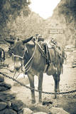Portrait of Pack Mule at Phantom Ranch, Grand Canyon National Park, Arizona Photographic Print by Justin Bailie