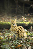 Servals Looking around under Warm Sunlight Photographic Print by Francesco Carovillano
