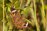 A Common Buckeye Butterfly in Virginia Photographic Print by Neil Losin
