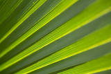 Sunlight Through a Palmetto Leaf in Jean Lafitte National Park and Preserve, New Orleans, Louisiana Photographic Print by Neil Losin