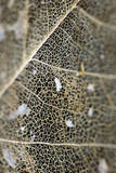 A Leaf That Has Worn Away Leaving a Lattice Like Skeleton Photographic Print by Bennett Barthelemy