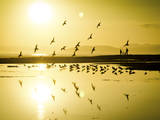 The Birds Standout Amongst the Glow of the Golden Hour on the California Coast Photographic Print by Daniel Kuras