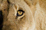 A Closeup Portrait of the Eyeball of a Lioness in Masai Mara, Kenya Photographic Print by Karine Aigner