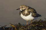 A Ruddy Turnstone (Arenaria Interpres) in its Winter Plumage on the Southern California Coast Photographic Print by Neil Losin