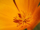 Beautiful Detail of a California Poppy Photographic Print by Matt Dames