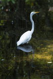 Homosassa Springs State Park, Florida: a Great Egret Fishes in the Water Photographic Print by Brad Beck