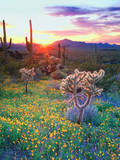USA, Arizona, Wildflowers and Cacti in Organ Pipe Cactus Photographic Print by  Jaynes Gallery