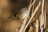 A Swamp Sparrow in a Virginia Wetland Photographic Print by Neil Losin