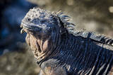 Galapagos, Ecuador, Isabela Island. Marine Iguana Close-Up Photographic Print by Mark Williford