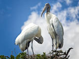 Woodstork Couple in Florida Photographic Print by Frances Gallogly