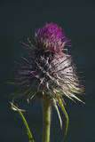 Bull Thistle, Okanogan-Wenatchee National Forest, Washington, USA Photographic Print by Roddy Scheer