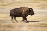 A Bison Runs Through Elk Ranch Flats in Grand Teton National Park, Wyoming Photographic Print by Mike Cavaroc