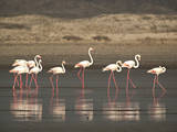 Flamingos Photographic Print by Frances Gallogly