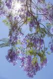 Mexico, San Miguel De Allende. Sunburst Through Jacaranda Tree Photographic Print by  Jaynes Gallery